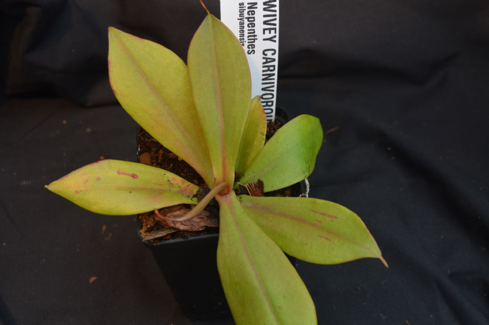 N. sibuyanensis x merrilliana BE3542
